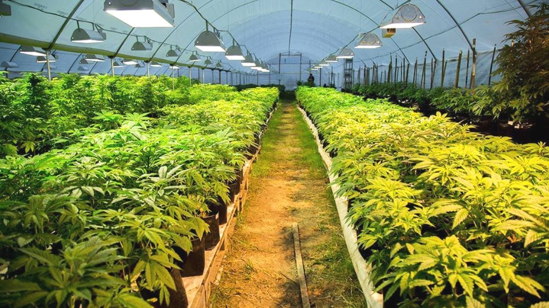 cannabis uruguay